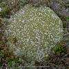 Arenaria polytrichoides