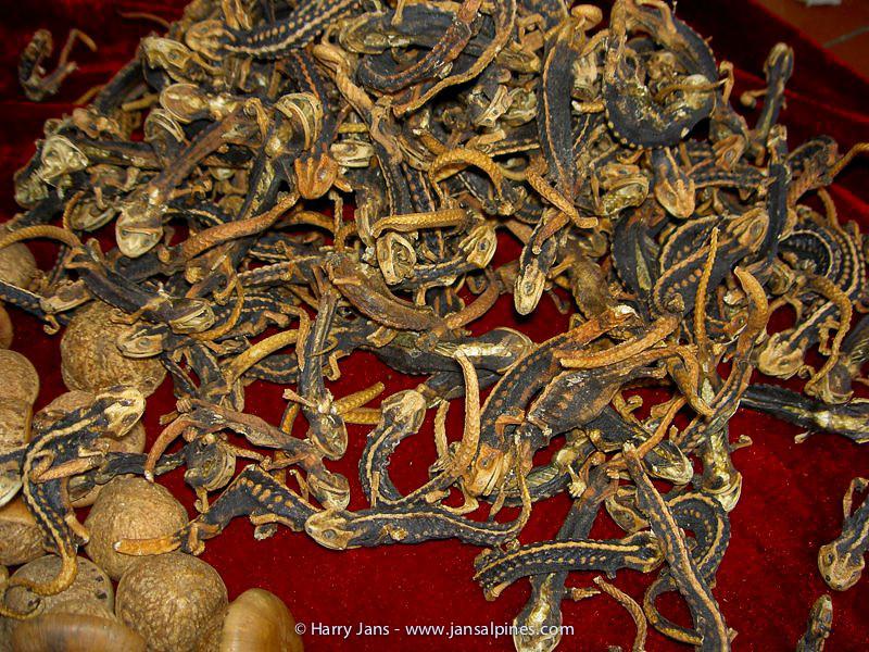 salamander medicine at Yufeng Monastery