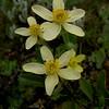Anemone trullifolia var. linearis
