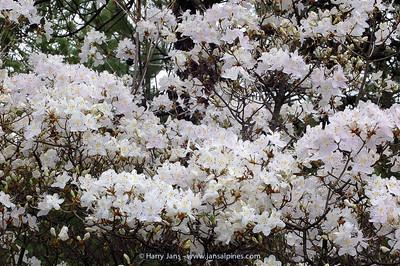 Rhododendron yunnanensis