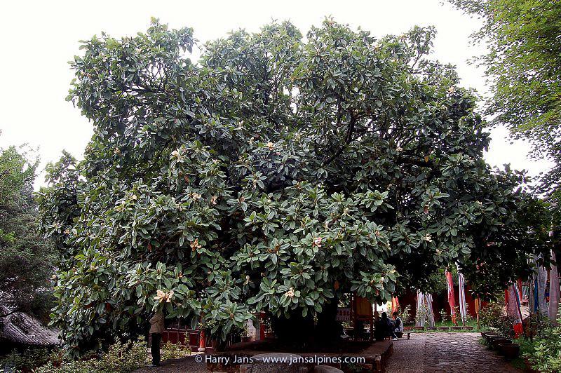 Magnolia delavayi at Yufeng Monastery