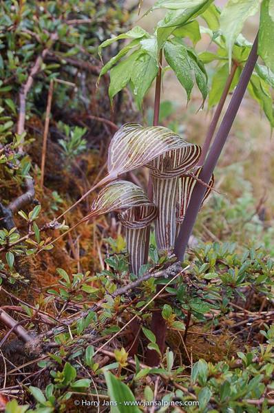 Arisaema ciliatum var. ciliatum