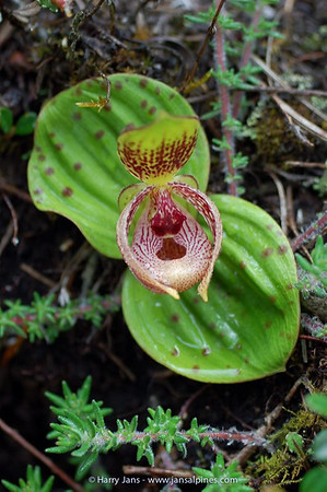 Cypripedium margaritaceum