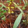 Oreorchis erythrochrysea