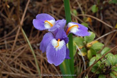 Iris collettii var. acaulis