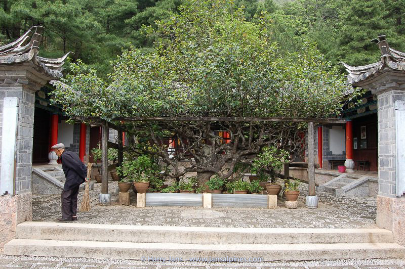 500 year old Camelia tree at Yufeng Monastery