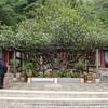 500 year old Camelia tree at Yufeng Monastery
