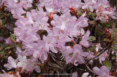 Rhododendron cuneatum