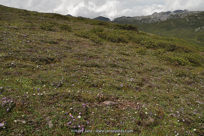 alpine meadow on Shika Shan, 4410m
