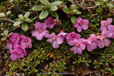 Diapensia purpurea var. rosea