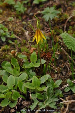 Lloydia oxycarpa