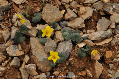 Viola biflora var. hirsuta