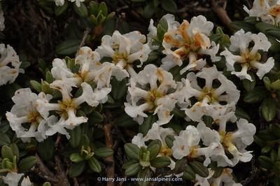 Rhododendron primuliflorum ssp. primuliflorum