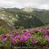 Rhododendron saluenense ssp. chameunum