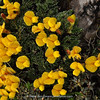 Spongiocarpella polystichoides