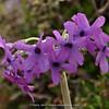Primula chionantha ssp. sinopurpurea