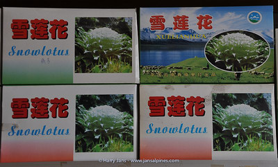 Saussurea (snow lotus) medicine