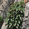 Rhabdothamnopsis sinensis