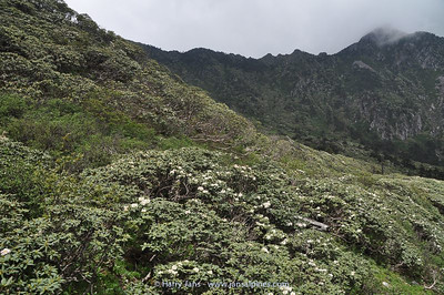 Rhododendron forest at Cang Shan