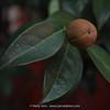 Camelia fruit