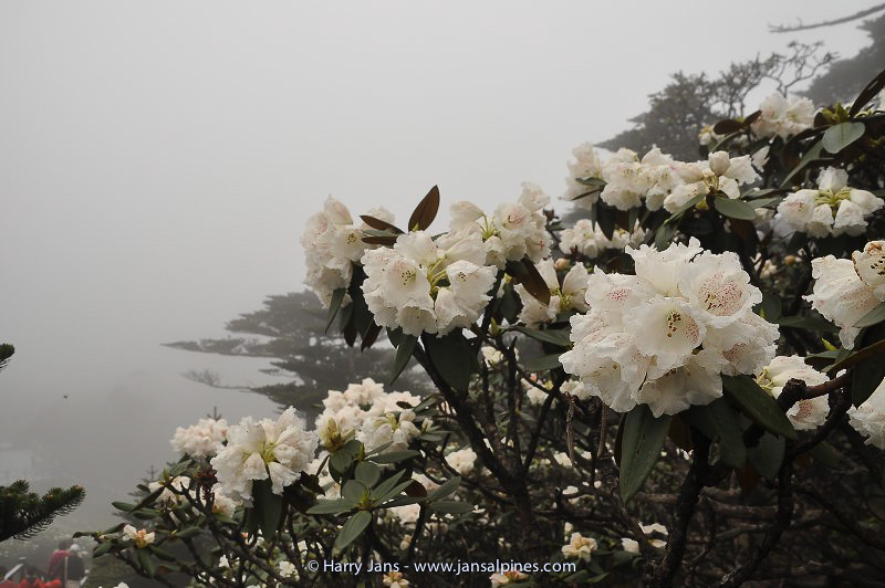Rhododendron taliense