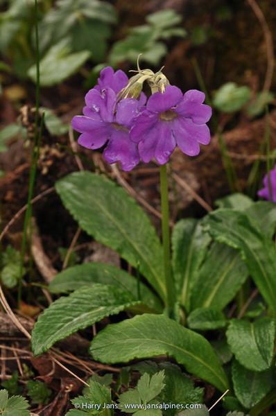 Primula calliantha ssp. calliantha