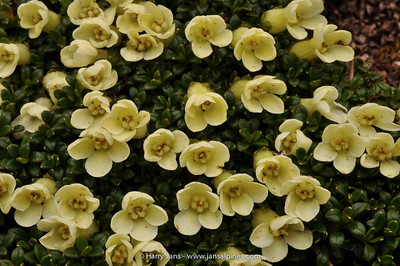 Diapensia bulleyana