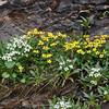 Pegaeophyton scapiflorum & Caltha palustris var. chinensis