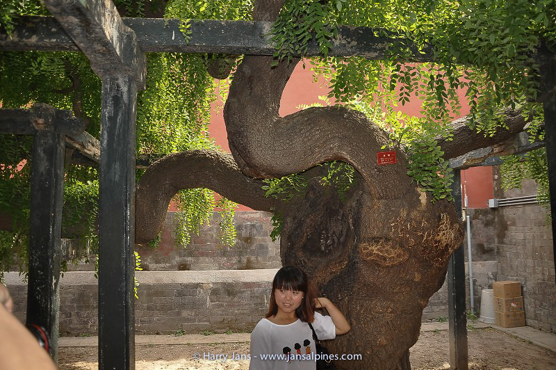 very old Sophora japonica var. pendula in Forbidden City