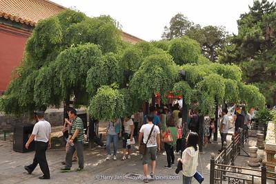 very old Sophora japonica var. pendula in Forbidden City
