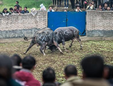 Guizhou-style bullfight