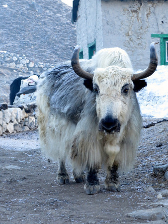 early morning encounter with a yak in Gokyo