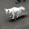 "The ""Love Chihuaua"" riding a skateboard."