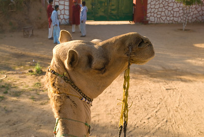 I mounted mine - I had run out of excuses, and found myself at the head of the caravan. Here my camel gives me a knowing wink