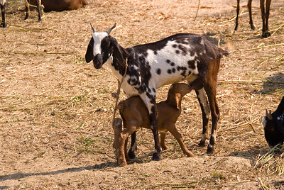 A smal herd of goats provided milk