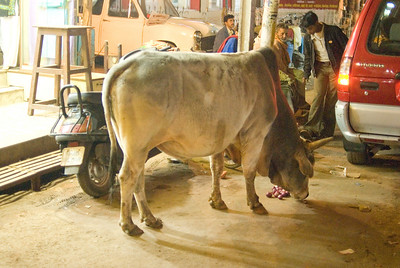 Varanasi bull
