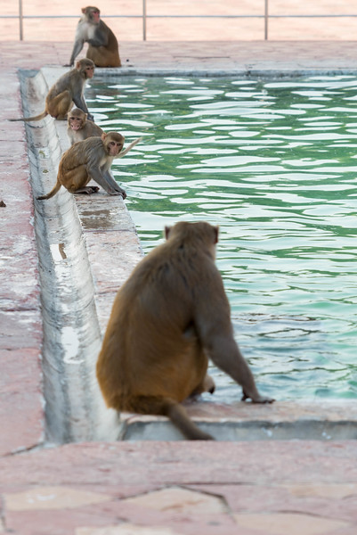 Monkeys at the Taj Mahal