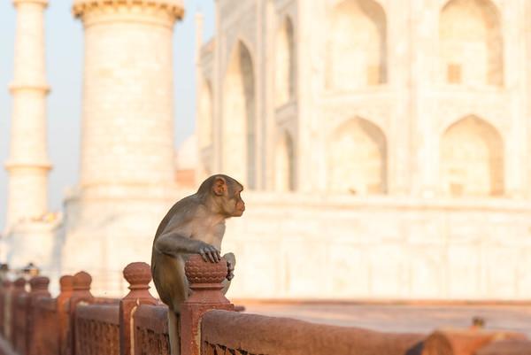 Monkeys at the Taj Mahal