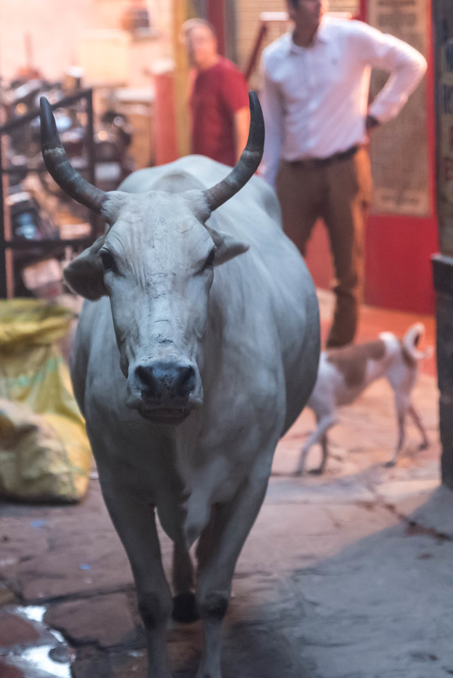 Cow in Alley After the Aarti