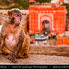 India - Rajasthan - Jaipur - Historical Rajasthani town nicknamed as Pink City - Old City - Monkey Temple and view towards city gate made with red and pink sandstone