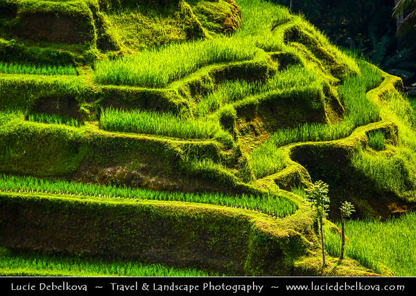 Indonesia - Bali Island - Tegalalang Rice Terraces - Tegalalang Rice village located on the north-south road from Kintamani and Ubud