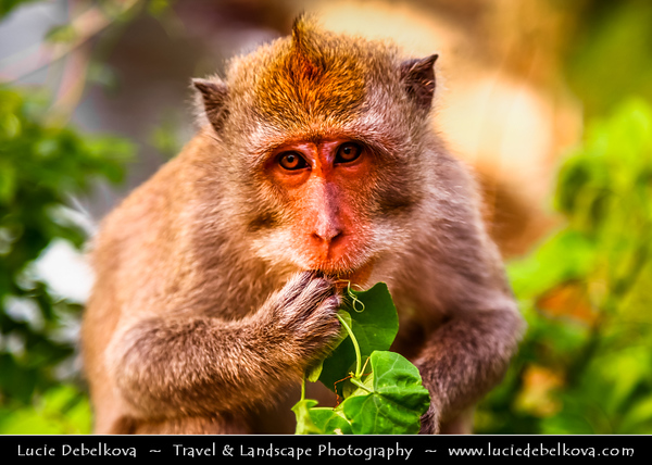Indonesia - Bali Island - Cheaky Monkey at Uluwatu Temple - Hindu temple set on the cliff bank with stunning view of Indian Ocean & spectacular sunset
