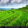 Indonesia - Bali Island - Jatiluwih - Beautiful rice terrace unfolding from the foot of mountain until the coastal side