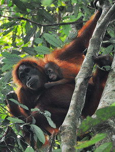 Bukit Lawang - Mother and Child