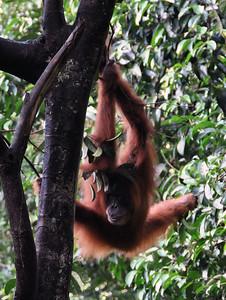 Bukit Lawang - Sumatran Orangutan Grand Ecart