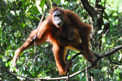 Bukit Lawang - Sumatran Orangutan with Baby ready to Jump