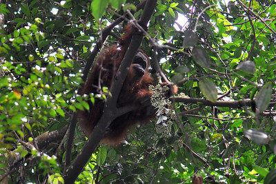 Bukit Lawang - Orangutan Looking For Fruit