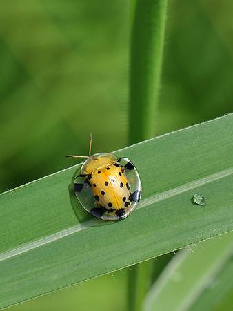 Lembah Harau - Spotted Tortoise Beetle
