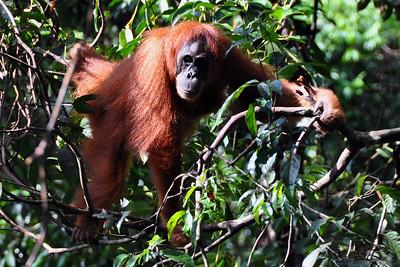 Bukit Lawang - Sumatran Orangutan Approaching