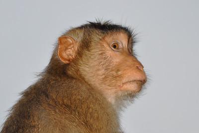 Bukit Lawang - Macaque on the Watch